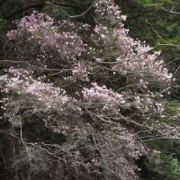 亀腹岩のアケボノツツジ満開(4月22日)