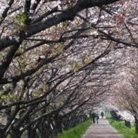 2017桜②