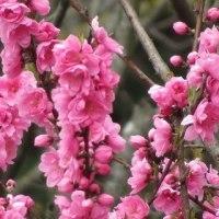 桃の花の季節に