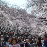 上野公園の桜は満開