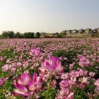 レンゲ草は 田圃の肥料か 蜜源植物か