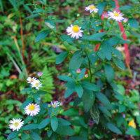 軽井沢の山荘の庭、10月前半の花