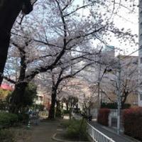 2017年桜満開