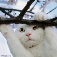 岩合光昭さんの白猫を着る
