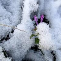 仏の座に雪