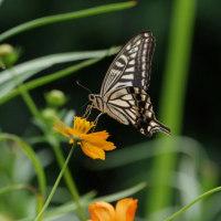 キバナコスモスのアゲハチョウの動きから