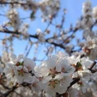 りんごの花?とヒヤシンス