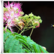 野鳥観察のかたわら 合歓の花を撮影