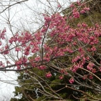 相模原公園の桜は~~~