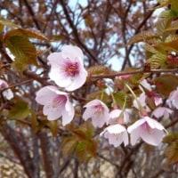 シラネアオイ咲く野反湖は早春