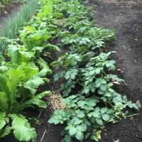 初収穫の冬野菜たちで一品