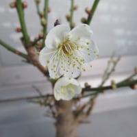 アーモンドの花の香り