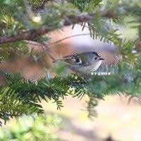 野鳥観察 キクイタダキ