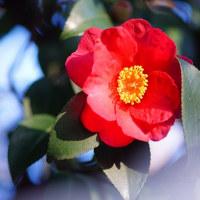 藪椿 (花 4194)