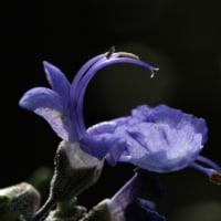今朝のローズマリーの花