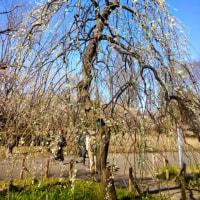 府中市郷土の森博物館で1100本の梅が見頃です