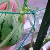 小玉スイカとメロンが生長しています