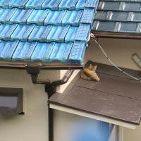 お隣の屋根の上がお気に入り