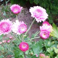 菊花香る季節