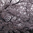 今日ぐらいの桜が一番キレイかな〜。