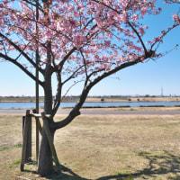 江戸川堤の河津桜