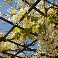 房が短いタイプの藤の花満開♪香る季節♪