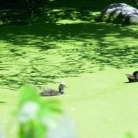 緑の藻がいっぱいの水溜りに、バンの親子が見えた。