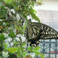 アゲハ蝶の「寝返り」(?)と「寝起き」