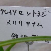 「第12回秋の洋ラン展」の(青い蘭)クレイソセントロン・メリリアナム 2016年12月2日(金)