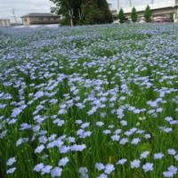 亜麻の花が見ごろです!