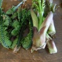 コシアブラの収穫