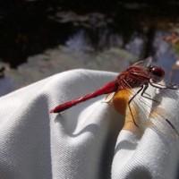 しばし蜻蛉に遊ばれる ~ モネの庭から(その280)