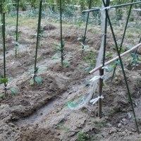 夏野菜、肥料袋を取り支柱を立てる