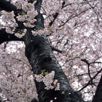 玉川堤の桜並木