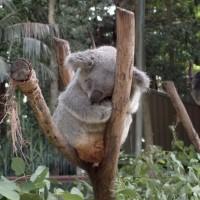 Koala Park (NSW州)