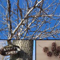 この実、何の実、この樹、何の樹、初めて知ったモミジバフウ(紅葉葉楓)