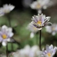 春の花が今年も咲いています。