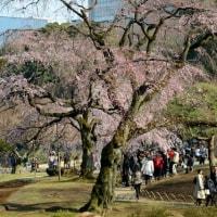 小石川後楽園の しだれ桜・・4