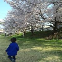 春です!桜です!