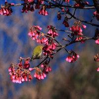 鬼ヶ城の寒緋桜