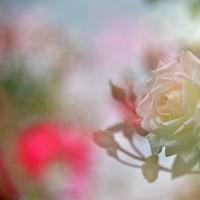 おじしゃんの花シリーズ ・・・ 続々 ・ クラインガルテンのバラ