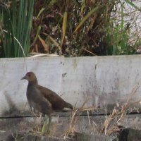 手賀沼  バン(鷭) ~若鳥と成鳥~