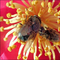 サザンカの花,昆虫(5)