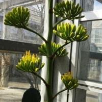 アガベ(百年に一度の花・の異名を持つ)の開花をみたよ!・3/25誕生花・オトメザクラ