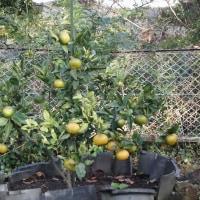 柑橘系の果樹が色づきだしました