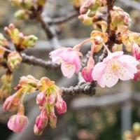 カワヅサクラが咲き始めました