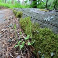 トウゴクサバノオ?いや、これは・・・ 芦川スズランの森  平成29年6月18日