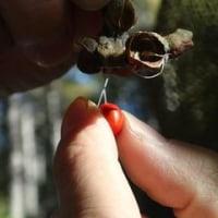 北国だけではなく全国で咲く コブシ