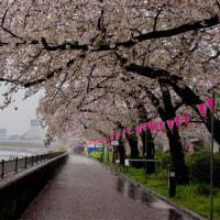 2017年4月11日の隅田川の桜