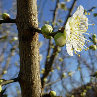 緑萼梅 都鳥 美しい自然 いざ言問わん 月が綺麗